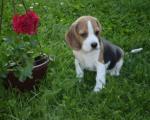 Забрањено шетање паса без повоца у Пироту