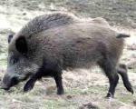 U Toplici završena sezona lova na divlje svinje, samo dva slučaja krivolova