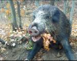 Lov za pamćenje na divlje svinje u Toplici