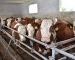 Dobar primer farme goveda kraj Leskovca