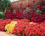 Јесење цвеће: Хризантеме или јесења ружа