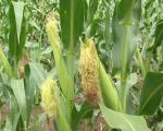Кукурузу неопходне падавине што пре