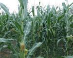 Временске прилике погодовале кукурузу у Топлици, очекује се принос од седам тона по хектару