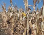 Zbog suše mali rod kukuruza u Toplici