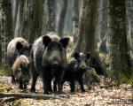 Дивље свиње харају на југу Србије