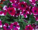 Почетак пролећа, право време за садњу баштенског и балконског цвећа