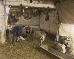 Pirot: Nema ko da čuva ovce
