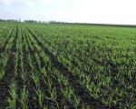 За сада нема оштећења на пшеници и другим озимим културама