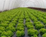 Нишка зелена салата на трпезама Европе