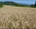 Почиње жетва пшенице у Топлици - услуга комбајна око 12 хиљада по хектару