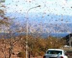 Скакавци код Куршумлије опасни по усеве