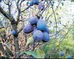 Predragu Iliću politički suparnici posekli 36 stabala šljive