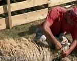 Старе расе животиња тражене на тржишту