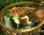 Берба печурака уносан сезонски посао