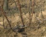 Počeli radovi u vinogradima u Pčinjskom okrugu
