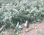 Ветар уништио воће код Лесковца, за 20 минута нестао дугогодишњи рад (ВИДЕО)