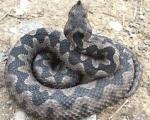 Pazite se zmija