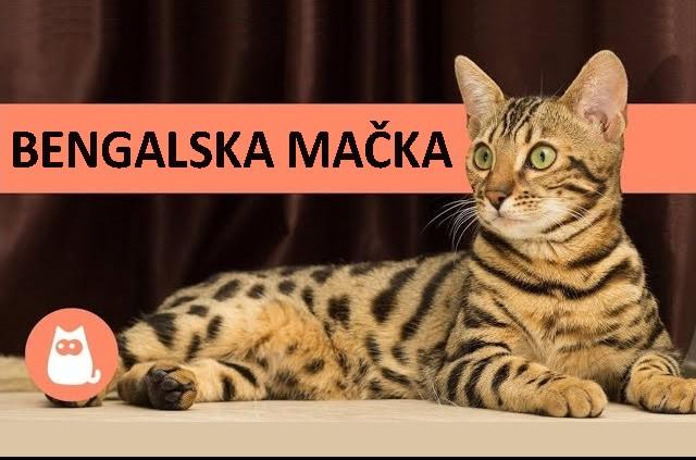 Bengalske mačke rasne