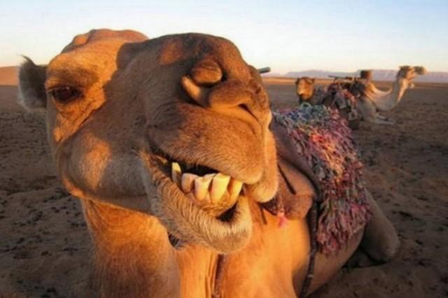 Razvoj turizma na lebanski način: Opština kupuje dve kamile