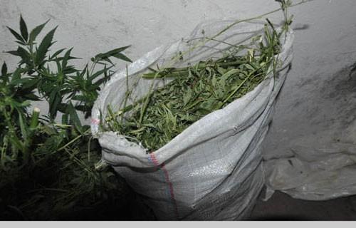 U okolini Dimitrovgrada pronađen zasad indijske konoplje