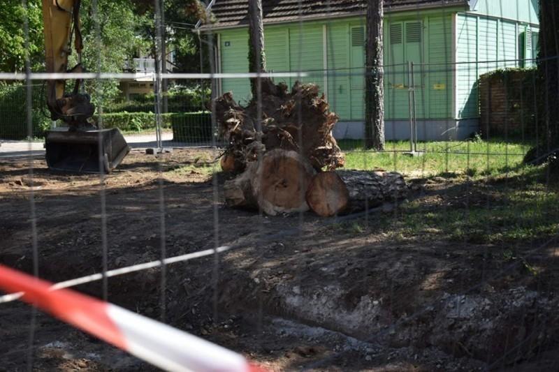 Керковић: Да ли су морали да буду посечени кедрови стари више од сто година?