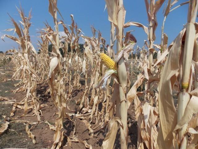 Због суше мали род кукуруза у Топлици
