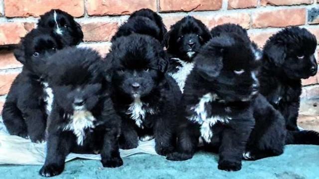 Njufaundlend štenci na prodaju
