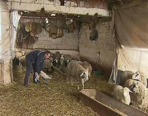 Pirotska ovca, Foto: RTS