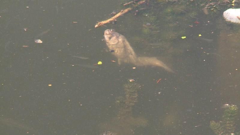 Помор рибе у Јужној Морави код Златокопа