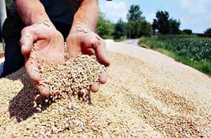 Почела жетва пшенице
