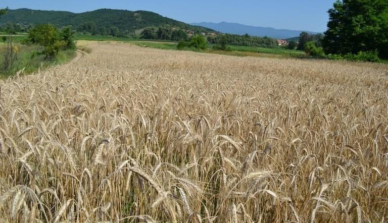 Počinje žetva pšenice u Toplici - usluga kombajna oko 12 hiljada po hektaru