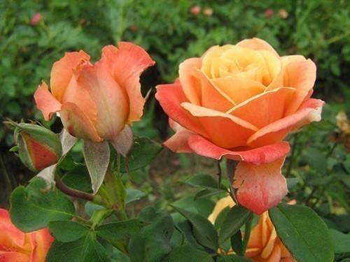 Najveći i najbolji izbor sorti ruža u Srbiji