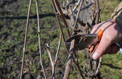 Резидба винове лозе у Топлици при крају