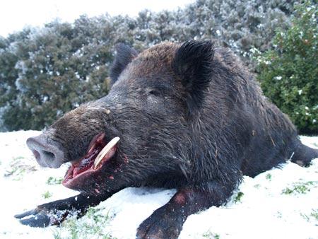 Lovci jeli zaraženo meso divlje svinje