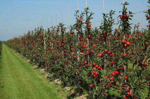 Ponuda voćnih i loznih sadnica