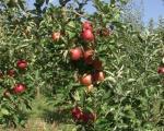 Viša cena otkupa jabuka u Pčinjskom okruku?