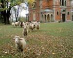 Ovce pasu u porti hrama (Foto)