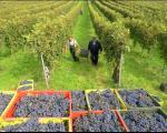"""""""Топлички виногради"""": Од овогодишње бербе грожђа произвешће се 90.000 боца вина"""