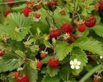 Branje divljih plodova voća u Toplici redak i isplativ posao