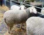 Farmeri traže subvencije i za neumatičena grla