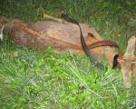 Lovokradice ubile srnu, a onda repetirali pušku na lovočuvara