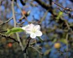 Процветале јабуке крај Мораве кад им време није, воћари кажу да је то лош знак