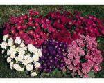 Sedam najlepših prolećnih cvetova za vašu baštu