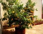 Niš: Najplodniji limun u Srbiji