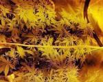 Improvizovana laboratorija za uzgoj marihuane