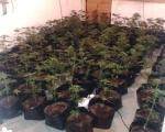254 stabljika, oko 5.100 grama lišća i 370 grama sasušene marihuane u Sokobanji