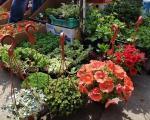 Пролећни избор цвећа за саксије и баште на нишким пијацама
