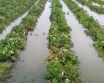 Haos u Leskovcu: Kukuruz, pešnica i povrće pod vodom