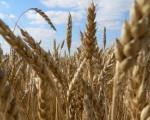Prosečni prinosi pšenice u Nišavskom okrugu
