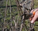 Rezidba vinove loze u Toplici pri kraju